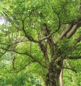 Macassar Wood